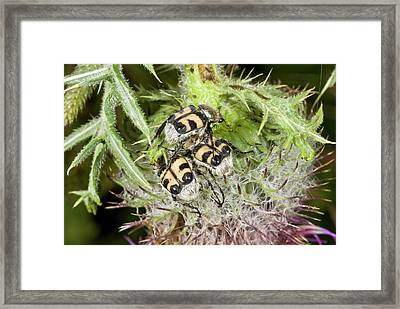 Bee Beetles On Thistle Framed Print by Bob Gibbons
