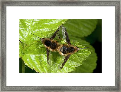 Bee-flies Framed Print by Nigel Downer