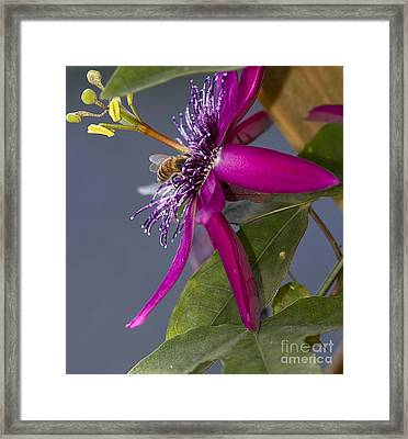 Bee In Passion Flower Framed Print by Anne Rodkin