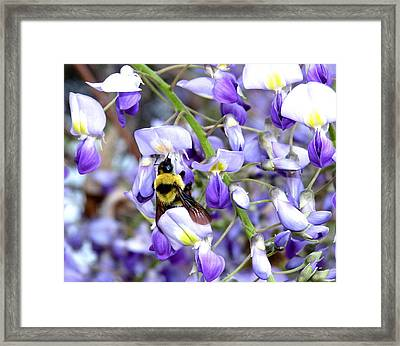 Bee In The Wisteria Framed Print by Will Borden