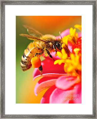 Bee Laden With Pollen Framed Print by Kaye Menner