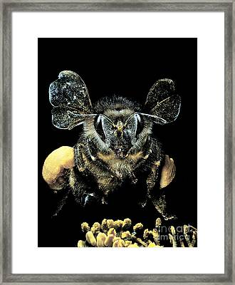 Bee Loaded With Pollen Framed Print by Darwin Dale