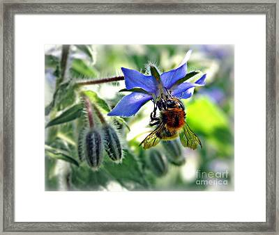 Bee On Borage Framed Print by Morag Bates