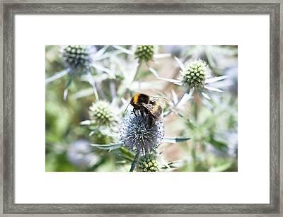 Bee On Eryngium Caeruleum Framed Print by Bjanka Kadic