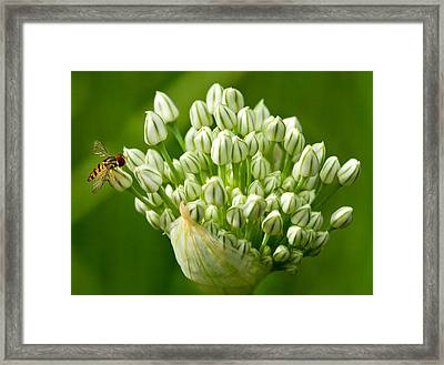 Bee On Onion Bloom Framed Print by Iris Richardson