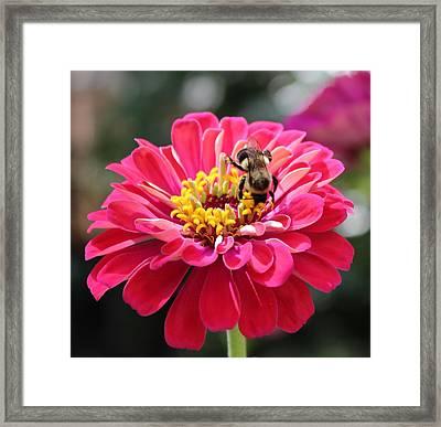 Bee On Pink Flower Framed Print by Cynthia Guinn