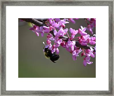 Bee On The Redbud Framed Print by Mary Zeman