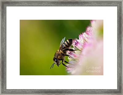 Bee Sitting On A Flower Framed Print by John Wadleigh
