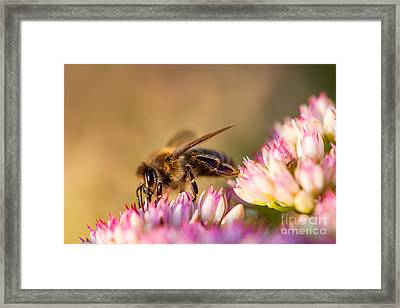 Bee Sitting On Flower Framed Print by John Wadleigh