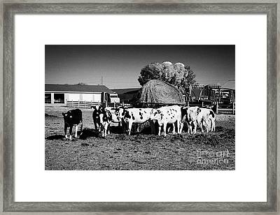 beef cattle herd usask university research saskatoon Saskatchewan Canada Framed Print by Joe Fox