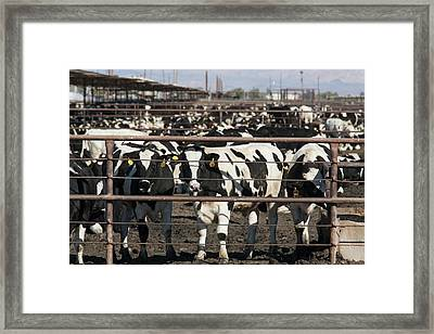 Beef Cattle Framed Print by Jim West