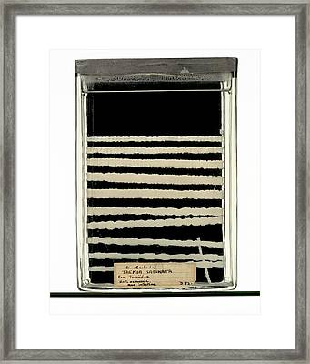 Beef Tapeworm Specimen Framed Print by Ucl, Grant Museum Of Zoology