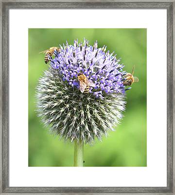 Bees On Globe Thistle Framed Print by Online Presents