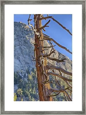 Beetle Barren Pine Framed Print by Scott Campbell