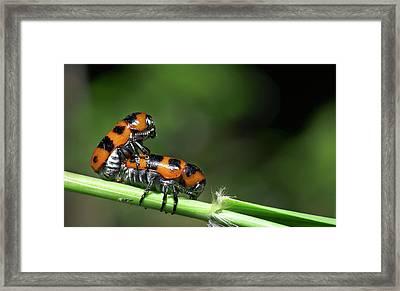 Beetles Mating Framed Print by K Jayaram