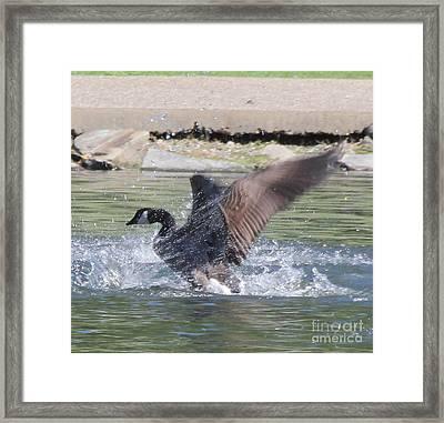 Beginning Flight Framed Print by Tricia Goode