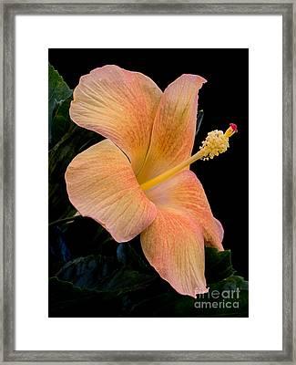 Beige Hibiscus Framed Print by Zina Stromberg