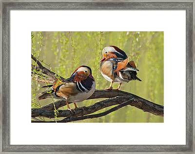 Beijing, China, Two Male Mandarin Duck Framed Print by Alice Garland