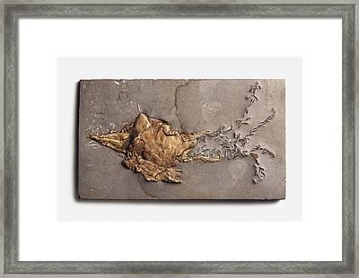 Belemnotheutis Antiqua Fossilised In Clay Framed Print by Dorling Kindersley/uig
