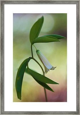 Bellwort - Spring 2013 Framed Print by Thomas J Martin