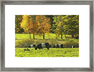 Belted Galloway Cows Grazing On Grass In Rockport Farm Fall Maine Photograph Framed Print by Keith Webber Jr
