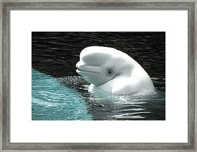 Beluga Whale Framed Print by Brian Chase