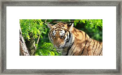 Bengal Tiger Portrait Framed Print by Dan Sproul