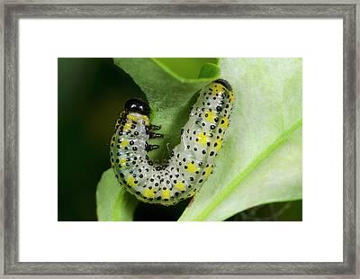 Berberis Sawfly Larva Framed Print by Nigel Downer