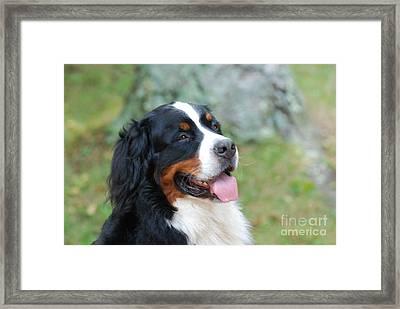 Bernese Mountain Dog Portrait Framed Print by DejaVu Designs