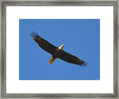 Best Soaring Bald Eagle Framed Print by Jeff at JSJ Photography