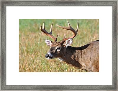 Big Buck Framed Print by Todd Hostetter
