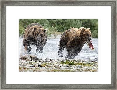 Big Bully On Funnel Creek Katmai National Park Framed Print by Dan Friend