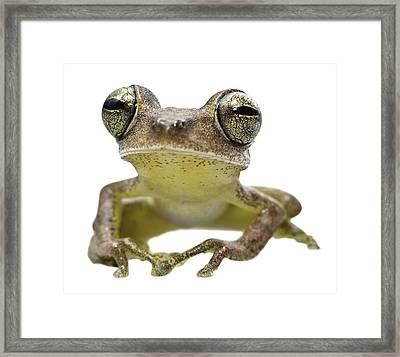 big eyed frog Hypsiboas fasciatus Framed Print by Dirk Ercken