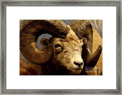 Big Ram Framed Print by D C