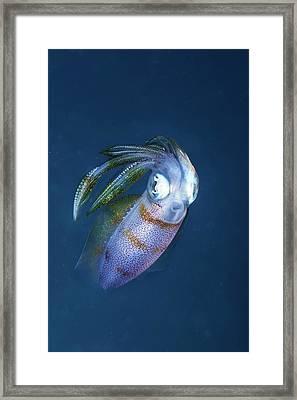 Bigfin Reef Squid Framed Print by Ethan Daniels