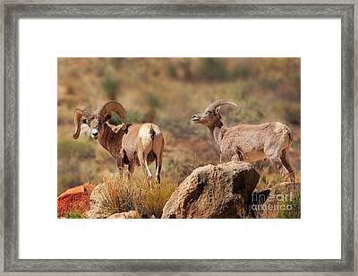 Bighorn Duo Framed Print by Inge Johnsson