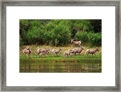 Bighorn Herd Framed Print by Inge Johnsson