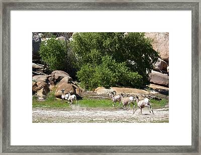 Bighorn Sheep In A Run Framed Print by Renee Sinatra