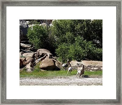 Bighorn Sheep Moving Framed Print by Renee Sinatra