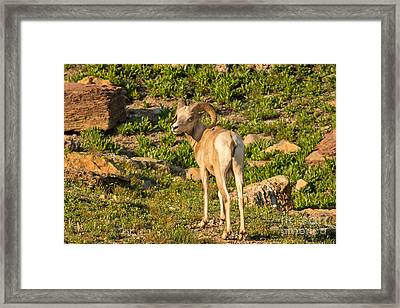 Bighorn Sheep Ram In Glacier Framed Print by Natural Focal Point Photography
