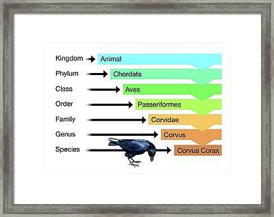 Biological Classification Framed Print by Mikkel Juul Jensen