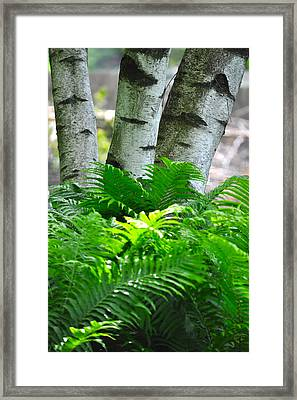 Birch And Fern Framed Print by Jeremy Evensen