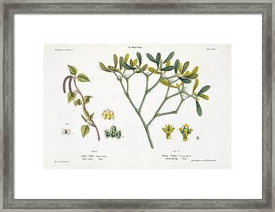 Birch And Mistletoe Framed Print by Matthias Trentsensky