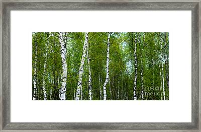 Birch Forest Framed Print by Hannes Cmarits