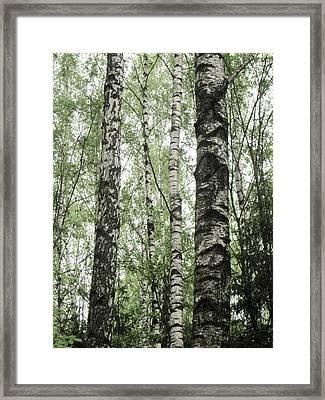 Birch Framed Print by Michael Fitzpatrick