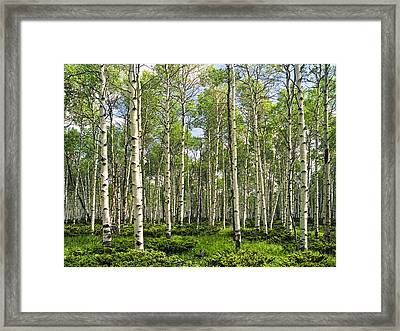 Birch Tree Grove In Summer Framed Print by Randall Nyhof