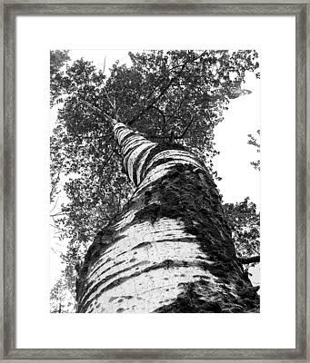 Birch Tree Framed Print by Tim Buisman