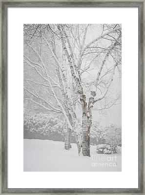 Birch Trees In Winter Framed Print by Elena Elisseeva