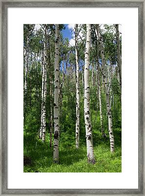Birch Trees Framed Print by Jim West