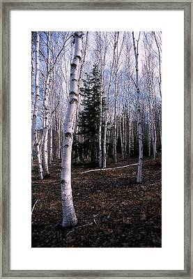 Birches Framed Print by Skip Willits